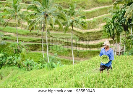 The Man And Handmade Hat At Rice Terrace In Bali