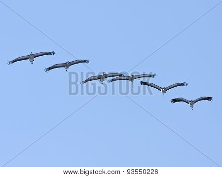 A group, flock of common cranes.