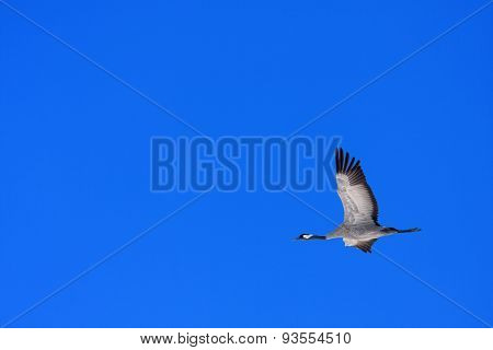 A single common crane in the blue sky.