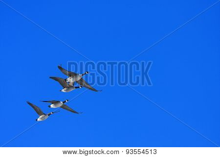 A group of Canadian Geese, Branta canadensis in the blue sky.