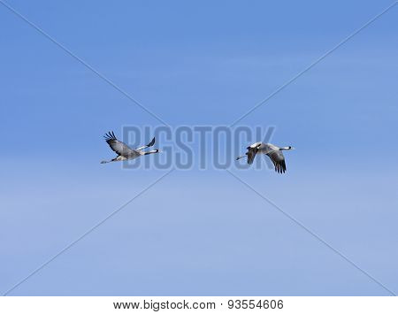 A couple of common crane in the sky.