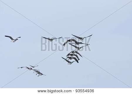 A group, flock of Canadian Geese.