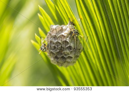 Wasps Building A Nest In A Palm Leaf