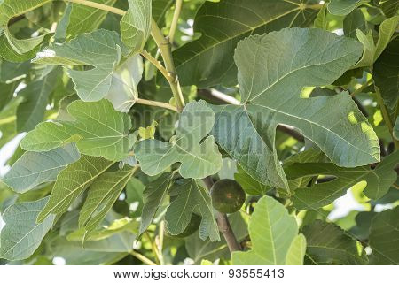 Fig Tree, Leafs, Unripe Figs
