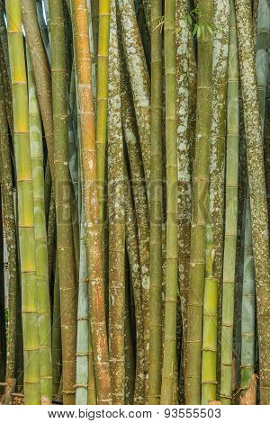 Big Fresh Bamboo Grove In Forest