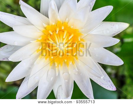 White Lotus On  Black Background.