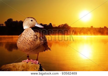 Wild duck on the stone at sunset