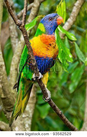 Rainbow Lorikeet,australia