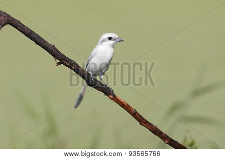 Brown Shrike Leucism Lanius Cristatus