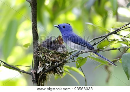Black-naped Monarch Hypothymis Azurea Nest Baby