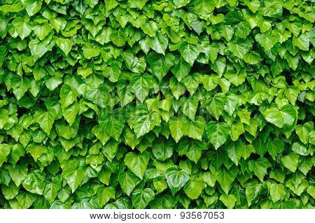 Spring green lush ivy leaves at wall background