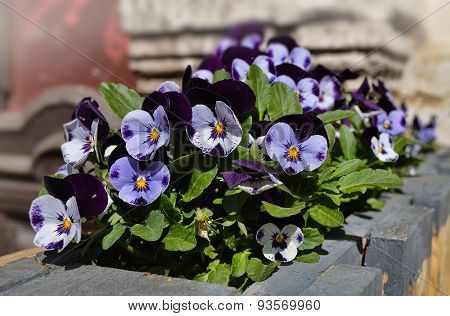 City flowerbed with violets.