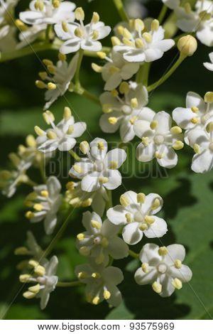 White Spiraea Petals