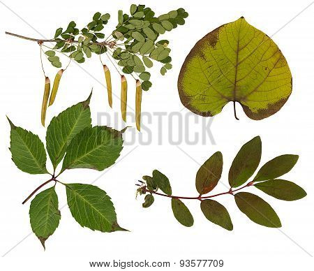 Set Of Wild Dry Pressed Leaves