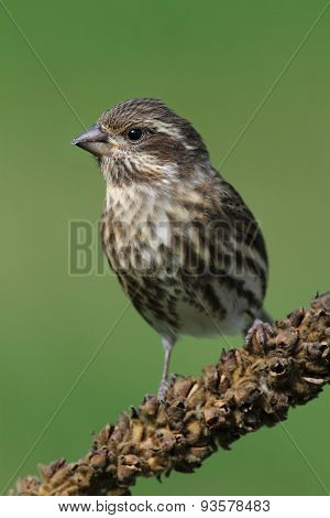 Purple Finch (carpodacus Purpureus) On Green
