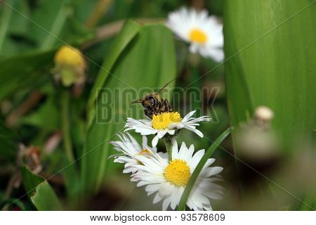 Bee is collecting pollen from daisy flower
