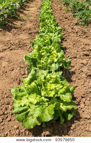 A row of lettuce in a vegetable bed