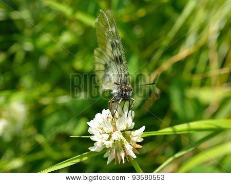 Irish Wood White - Leptidea sinapis juvernica Underside