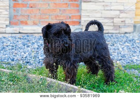 Black Purebred Dog Zwergschnauzer