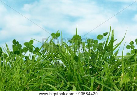 Fresh clover and grass growing in a meadow with copy space