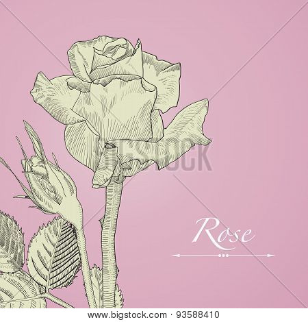 Hand drawn vector blomming rose with bud. Isolated illustration on pink background in vintage techni