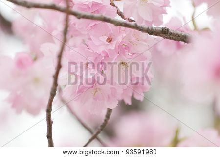 Cherry Blossoms Or Pink Sakura.
