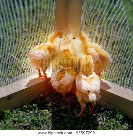 Beautiful yellow chickens