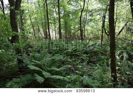 large ferns in the woods.
