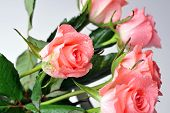 pic of bunch roses  - Bunch of pink roses isolated close up - JPG
