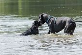 picture of great dane  - Black Great Dane and a small black dog will sniff in the water - JPG