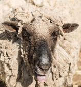 foto of hairy tongue  - Portrait of funny sheep in a pasture - JPG