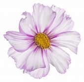 foto of cosmos flowers  - Studio Shot of Fuchsia and White Colored Cosmos Flower Isolated on White Background - JPG