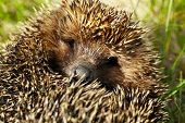 stock photo of crew cut  - Hedgehog on green grass outdoors - JPG