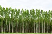 foto of eucalyptus leaves  - Eucalyptus forest in Thailand plats for paper industry - JPG