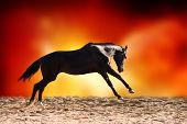 image of galloping horse  - Brown horse galloping on bright color background - JPG