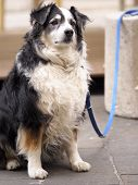 pic of collie  - A chubby border collie is waiting his human friend - JPG