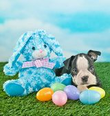 picture of easter eggs bunny  - Very cute Boston Terrier puppy laying next to an Easter bunny and Easter eggs outdoors with copy space - JPG