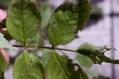 picture of nibbling  - A branch of deciduous tree Track nibbled leaves  - JPG