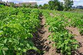 foto of potato-field  - Green potato field in the village horizontal  - JPG