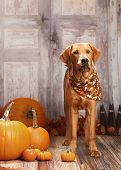 image of gourds  - Beautiful Golden Labrador Retriever next to pumpkins - JPG