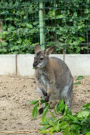 picture of wallabies  - grazzing cute Red necked Wallaby kangaroo  - JPG
