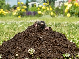 stock photo of mole  - Mole poking out of mole mound on grass - JPG