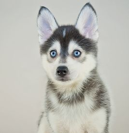 stock photo of puppy eyes  - Close up of a cute little Pomsky puppy with blue eyes - JPG