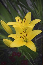 picture of asiatic lily  - A common yellow Asiatic lily in full bloom - JPG