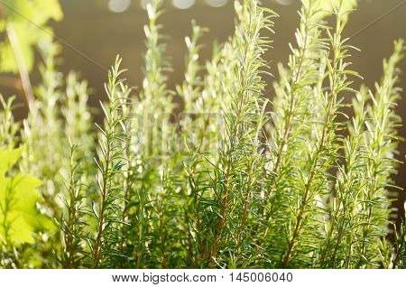 close-up photo of Rosemary bush under sunlight. Fresh green herbs spices. Botanical background