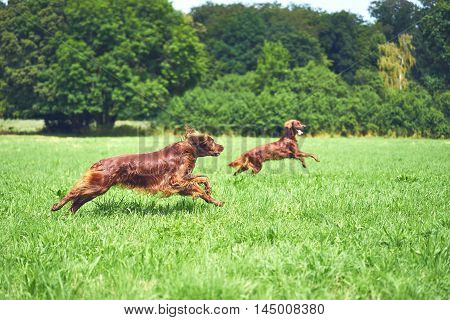 Red Irish setter playing on the meadow in the summer