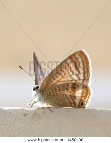 Arabian Butterfly