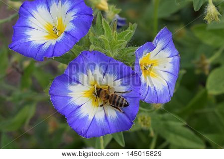 Closeup of bee on Convolvulus tricolor flower.