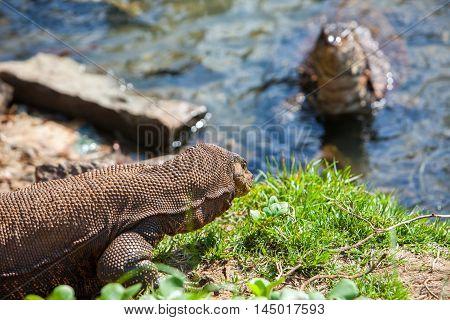 Huge Monitor lizards enters the water - Hikkaduwa Sri Lanka