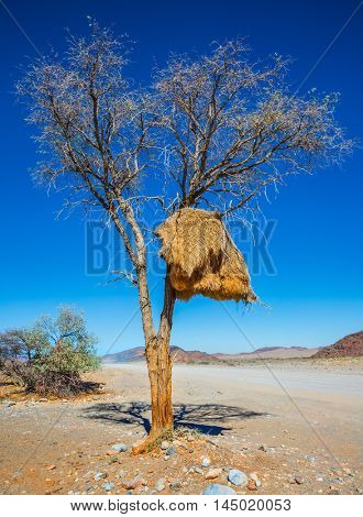 At roadside tree - big nest tropical bird - finch. Dirt road in the Namib desert endless. The concept of exotic and extreme tourism